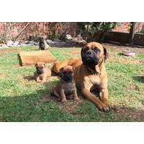 Perros - Cachorros Bullmastiff