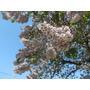 Kiri Paulownia Tomentosa Princess Tree 300 Sementes P/ Mudas