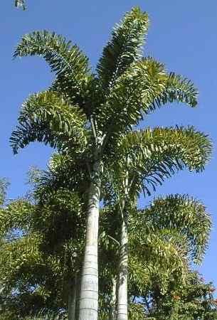 Palma cola de zorro wodyetia bifurcata palmera 1 metro for Mesa plegable las palmas