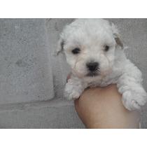 Cachorras Caniche Mini Ty Micro Toy Blanco Hembras