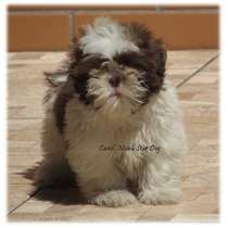 Shihtzu Mini Macho Chocolate ,lindo Filhote Shih Tzu