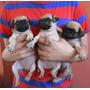 Hermosos Cachorritos Pug!!! :)