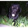 Cachorros Labrador De Padres Con Pedigree
