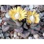 Semillas De Cactus Exòticos, Suculentas Y Lithops (2)