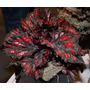 Exóticas Raras Colección Begonia Rex Magic/ Sea Serpent(avl)