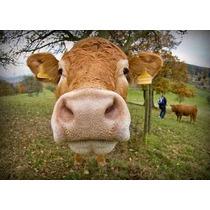 Cria Vacas Toros Becerros Ganado Bovino Vacuno Vv4