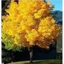 Semillas Arce Japones Gold Acer Japonico Amarillo Intenso