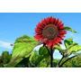 Semillas De Girasol Flor Gigante Roja Sobre X 0,5g