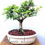 Bonsai Calistemon Olmo Chino Durazno Juniperus Chino N10p