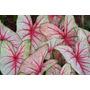 Exóticas/ Raras Plantas Interior Caladium Tricolor!!! (av.l)