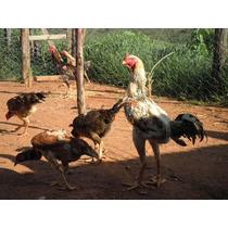 Ovos Indio Gigante Nossa Duzia É De 15 Ovos