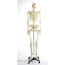 Esqueleto Humano Modelo Anatomico Tamaño 1.8m