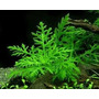 Hygrophila Difformis Planta Natural Para Acuarios Y Peceras