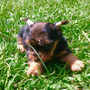 Yorkie Terrier Mini Miniatura Vendo Manto Largo Plata Ultimo