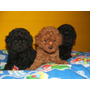 Caniches Toy Y Microtoy,hembra Negra $ 4999