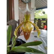 Muda De Orquídea Sapatinho