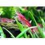 Gambas Red Cherry 5x$250 Acuario Plantado