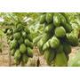 100 Sementes De Mamao Formosa Gigante + Frete Gratis