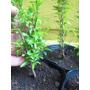 Arbol Granado Plantin. Vivero Arbol Hermano. Jardin / Bonsai