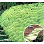 Musgo Tapizante Irish Moss Alfombra Verde Pack Semillas