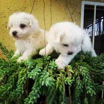 Cachorros Bichon Maltes Ya Vacunados
