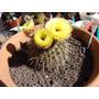 Semillas De Cactus Parodia Mammulosa