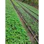 Venta De Plantas Forestales Nativas En Viveros