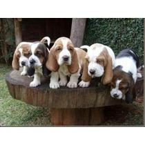 Filhotes Basset Hound