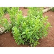 Semillas De Stevia Rebaudiana *envio Gratis*
