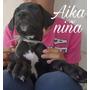 Cachorros Gran Danes Donacion No Negocio! Negros Preciosos