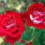 Osiria Ruby Rose (10 Semillas)