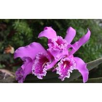 Venta De Orquídeas Cattleya Maxima