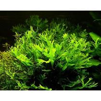 Helecho De Windelov 1 Maceta Plantas Acuario