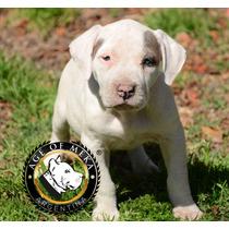 American Pit Bull Terrier Cachorrosukc Age Of Meka