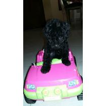 Hermosos Cachorros De Caniche Micro Toy Negros Azabaches!!!