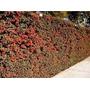 Plantas Para Cercos Verdes Grateus 100 Plantas De 70 - 80 Cm