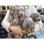 Cachorros Waimaraner (braco De Weimar) Apto A Cpr