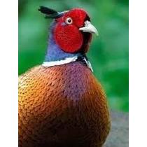 12 Ovos De Faisão Coleira (frete Grátis P/ Estado Sp 69,8080
