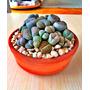 Lithops, Piedras Vivas, Cacto Piedra, Semillas Para Plantas