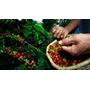 Finca Café 12,000 Tarea Sembrada En Producción