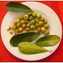 Aguaí Dulce:árbol Frutal Subtropical, Ornamental Y Medicinal