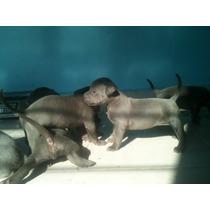 Cachorro Pitbull/blue