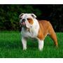 Bulldog Ingles. Como Criar Seu Filhote (frete Gratis) Brinde