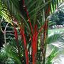 Planta, Mata, Jardin, Palma Tallo Rojo / Cyrtostachis Renda