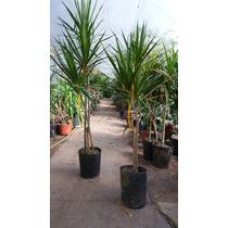 Palma Marginata ( Planta ) , Sombra - Resolana