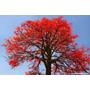 Sementes Árvore De Fogo Brachychiton Acerifolius Flor P Muda