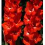 100 Sementes De Palma De Santa Rita Vermelha - Com Garantia