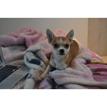 Chihuahua Filhote