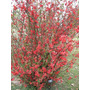 Membrillero De Flor - Chaenomeles - Arbusto Muy Decorativo