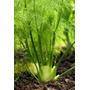 Hinojo ( Planta ) Por Pieza 30 A 45 Cm